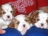 billis-puppies.jpg